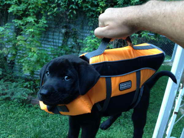 Labrador Life Jacket