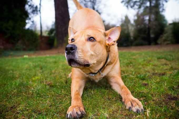 Labrador Mix Pitbull