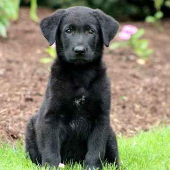 Labrador Mix Puppies