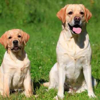 Labrador Obedience Training