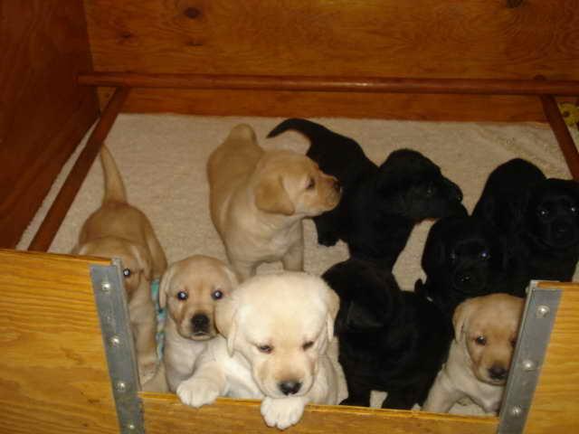 Labrador Puppies Albuquerque