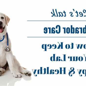 Labrador Puppies Care
