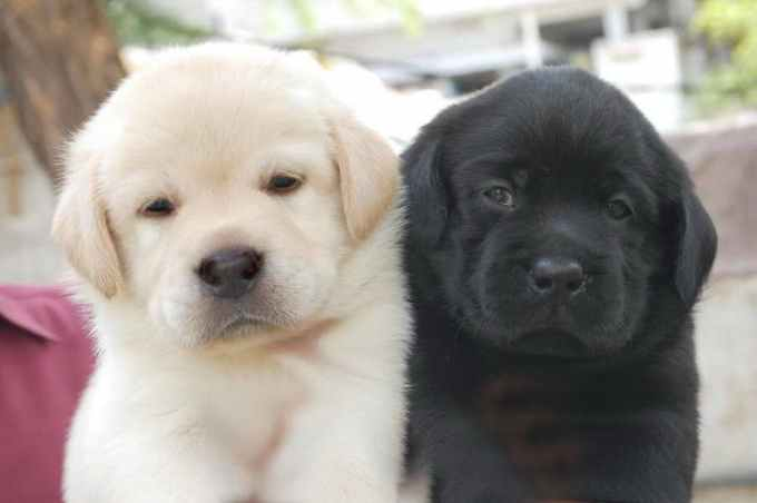 Labrador Puppies Cost