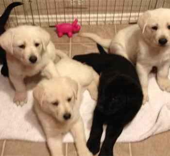 Labrador Puppies Dfw