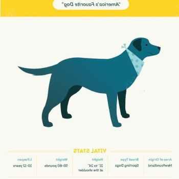 Labrador Puppies Facts