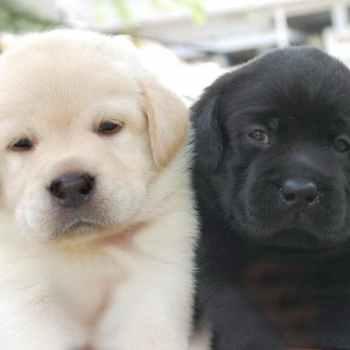 Labrador Puppies Price