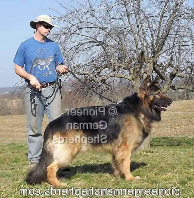 Large German Shepherd Weight