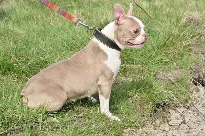 Lilac Boston Terrier For Sale
