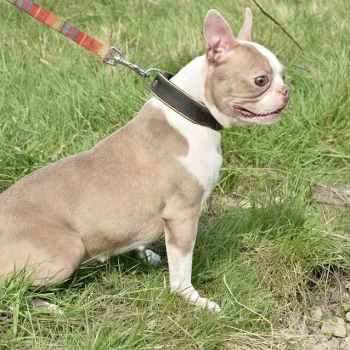 Lilac Boston Terrier Puppies For Sale