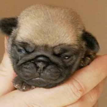 Little Pug Puppies