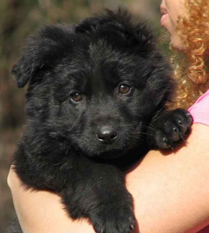 Long Haired Black German Shepherd Puppies