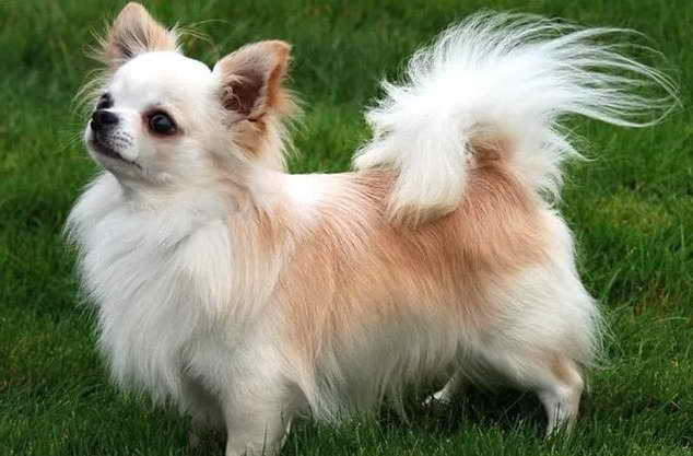Long Haired Chihuahua Information