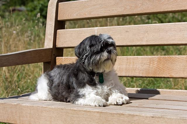 Shih Tzu hypoallergenic dogs