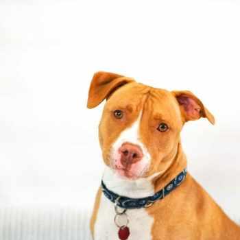 American Pit Bull Terrier Temperament