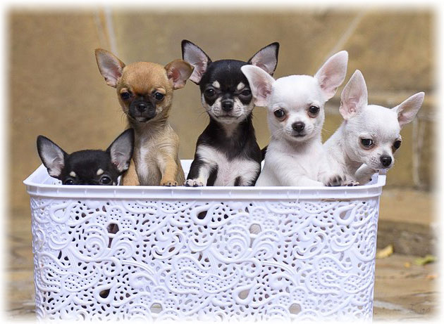 Read About The Most Small Tiny Dogs Breed In The World Petsinhouse Com