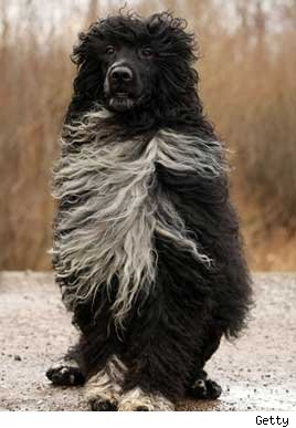 portuguese-water-dog.jpg