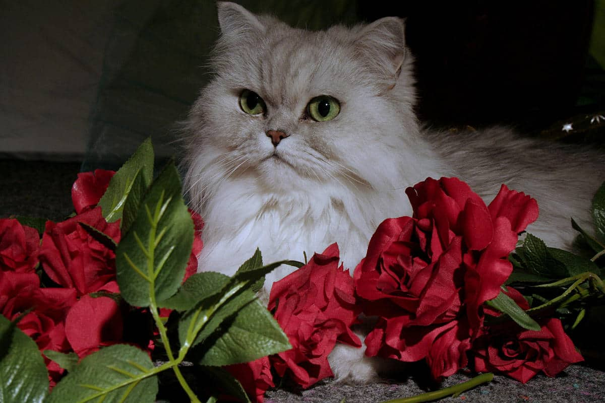 Chinchilla Persian cat in a bed of roses