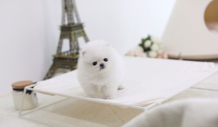Top Quality Male and Female Pomeranian Pups* (727) 900-5127