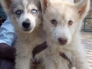 Siberian husky , two female pups available!!