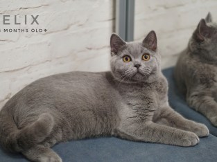 British Shorthair male