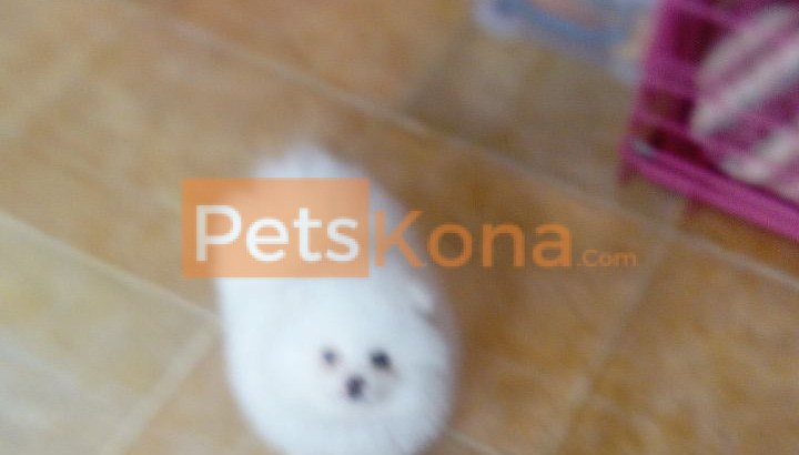 Top Quality Male and Female Pomeranian Pups