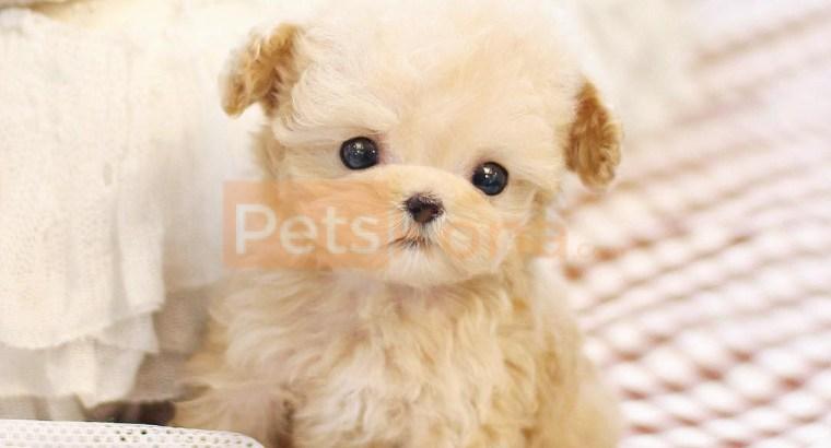 Teacup Size Poodle Puppies For Sale Text (713) 510-3006