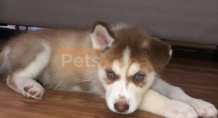 2 month old Husky needs new home ASAP