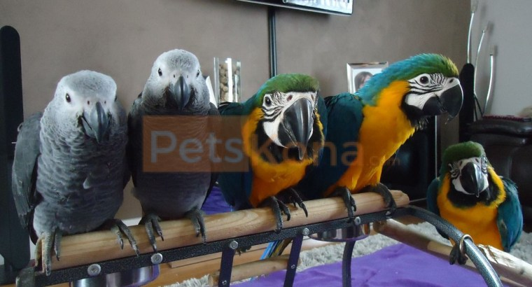 Ready Pair Macaw Parrots 12 Months Old