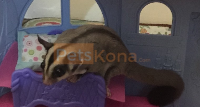CLASSIC GRAY SUGAR GLIDERS FOR SALE