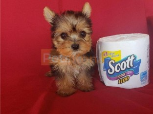 Yorkie puppies for adoptionDon't (770) 765-0638