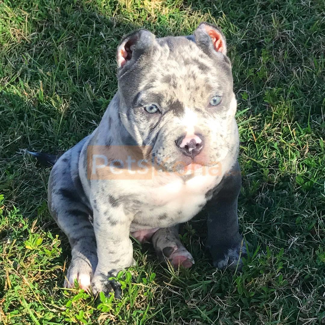 Buy Puppies For Sale Pitbull In Romania