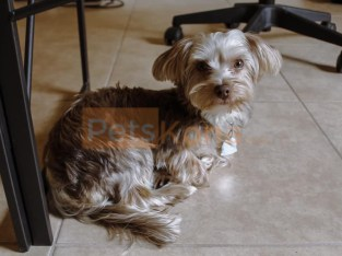 Parti Yorkie Puppy – Great family pet