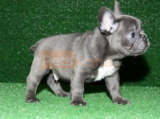 Blue French Bulldog puppies Text Us At (503)389-3196 )