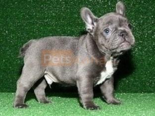 Joyful bringer Pure Blue French Bulldog puppies Text Us At (503)389-3196 )
