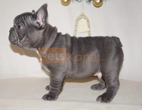 Companion Pure Blue French Bulldog puppies Text Us At (503)389-3196 )