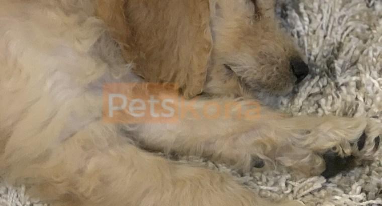 10 Week Old Goldendoodle