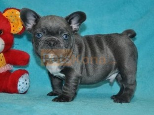 Wonderful Pure Blue French Bulldog puppies Text Us At (503)389-3196 )