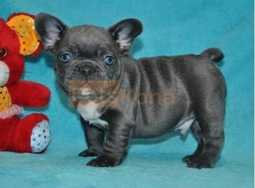Wonderful Pure Blue French Bulldog puppies Text Us At (503)389-3196 )