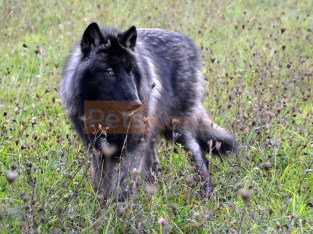 Wolf (dog) Pups.