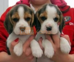 Beagle Male and Female Puppies For Adoption fee