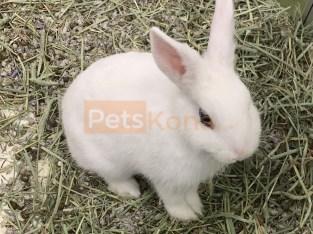 Female Hotot Bunny