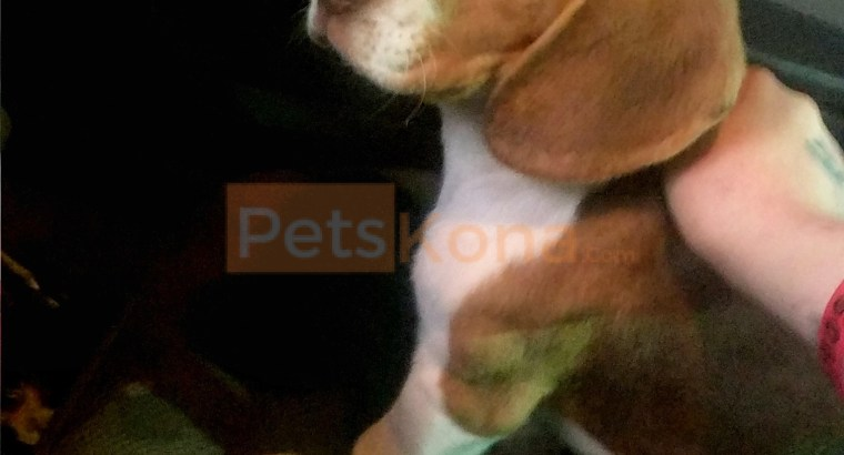 Purebred pocket beagle puppy