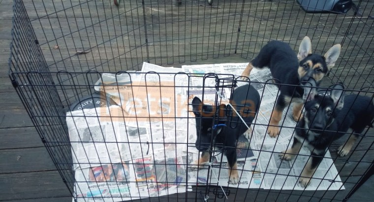 Puppies for Sale – Columbus Ohio