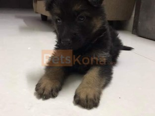 High Quality German Shepherd Puppies
