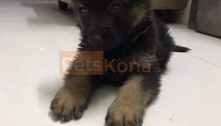 High Quality German Shepherd Puppies