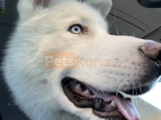 Siberian Husky for sale!