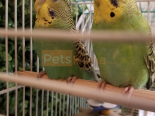 2 Healthy and Sweet Budgies Free to a Good Home