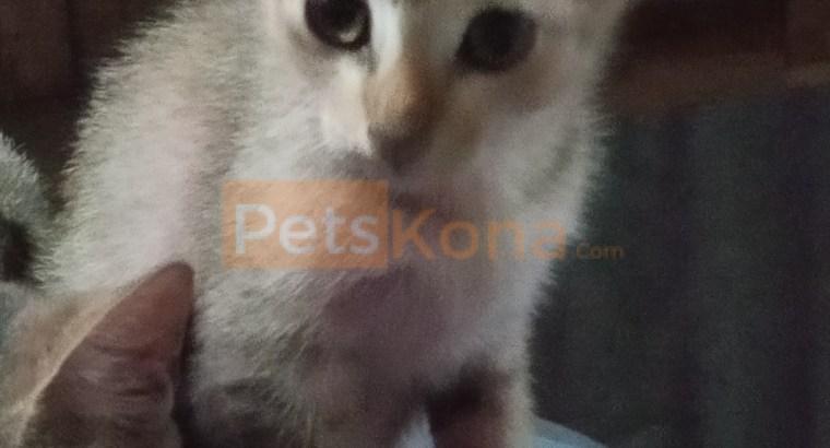 MALE Cat Kitten