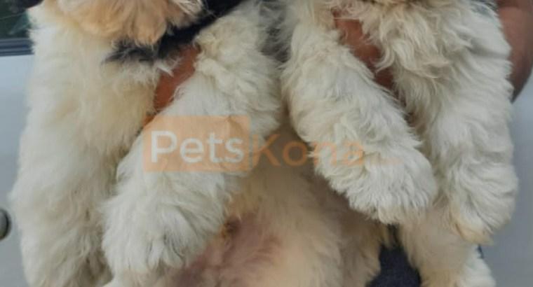 Beautiful Shitzu puppy for sale in Gurgaon