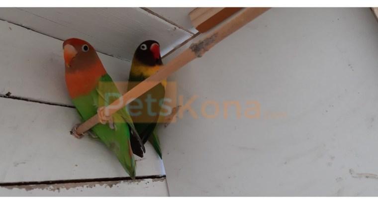 Love Birds for Sale!!!!!!!!